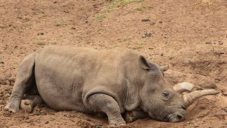 There Are Only Three Northern White Rhinos Left, Where Do We Go From Here?