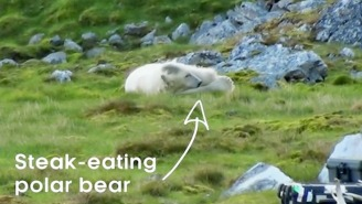 A Hungry Polar Bear Breaks Into A Nature Film Crew's Cabin And Eats All Of The Bacon