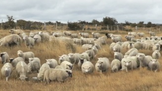 How A Bunch Of Flatulent Sheep Forced A Plane To Make An Emergency Landing