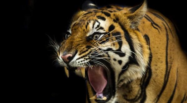 tiger-uproxx