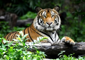 Amur The Tiger Was Supposed To Eat Timur The Goat, But They Became Friends Instead