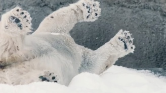 San Diego Zoo Polar Bears Getting A Real 'White Christmas' Will Make Your Holidays