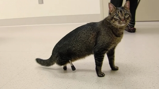 Vincent The Cat's 3D Printed Legs Are Making Him An Internet Superstar