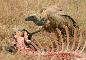 Thanks To Hunting, Vultures Are Eating Dead Animals Butt First