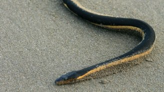 Highly Venomous Snakes Are Washing Onto California Shores, Thanks To El Niño