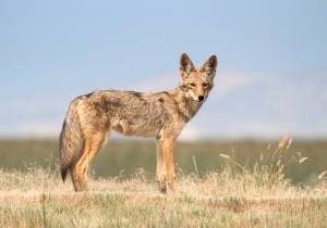 Are 'Shrooms' To Blame For Creepy Coyotes Near San Francisco?