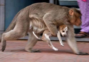 A Monkey Adopted A Stray Puppy In India, And Yes, There Are Pictures