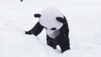 This Man Joyously Relives Tian Tian The Snow Panda's Enjoyment Of Winter Storm Jonas