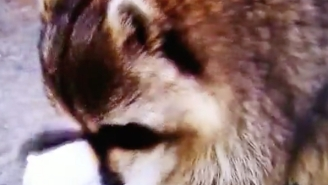 Understand The True Meaning Of Loss When This Raccoon Loses His Sweet Treat