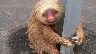 This Sloth Thought It Was A Chicken And Tried To Cross The Road