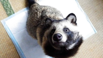 Is It A Raccoon Or A Dog? This Adorable 'Raccoon Dog' Named Tanu Is Taking The Internet By Storm