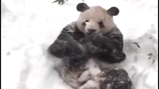 Tian Tian The Panda Is Clearly Loving Winter Storm Jonas' Effect On The National Zoo