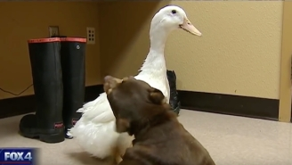 This Dog And Duck Were Such Good Friends, They Had To Be Adopted Together