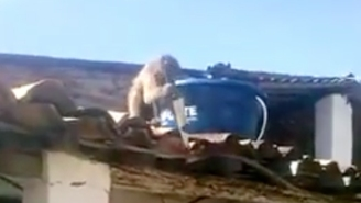 This Drunk Monkey Is Not Afraid To Get Into A Knife Fight