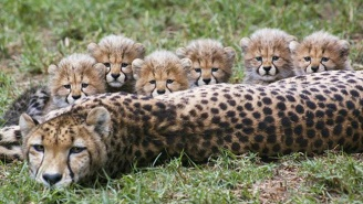 The San Diego Zoo's Six New Cheetah Cubs Are The Cutest Things You'll See Today