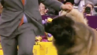 The Internet Fell In Love With A Thieving Leonberger At The Westminster Dog Show