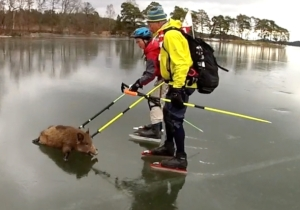 These Geniuses Rescuing Pigs By Curling Them Across A Frozen Lake Is Your Daily Reminder To Think Outside The Box