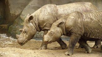 The Discovery Of A Sumatran Rhino In Borneo Marks A Huge Conservation Win