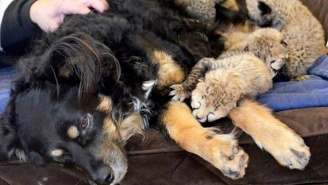 This Surrogate Dog Is A Hero To Five Cheetah Cubs Who Lost Their Mom