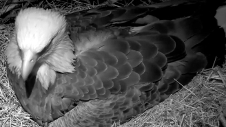 Bald Eagles Are Hatching Live In Washington D.C. And You Can Watch On Live Stream