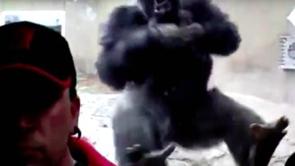 A Terrifyingly Huge Gorilla Tried To Attack A Zoo Visitor
