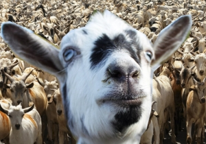 A Literal 'Gang Of Goats' Is Terrorizing The New Zealand Countryside And People Are Panicked