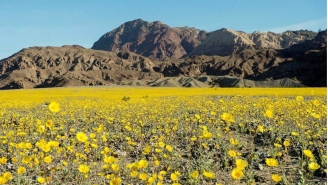 Death Valley's 'Super Bloom' Is The Best Reason To Head To The Desert In 11 Years