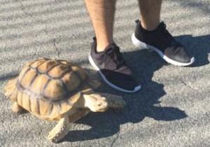 NYC Craigslist Ad: Man Seeks A Tortoise Walker To Walk His Tortoise For $10 Per Hour