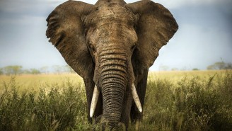 A Massive Survey Finds Far Fewer African Elephants Than Expected