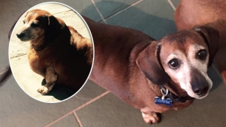 'Fat Vincent' The Dachshund Lost Half His Weight To Become 'Skinny Vinnie'