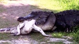 Watch A Gator Brutally Gulp Down Another Gator (But Maybe Shield Your Kids' Eyes First)