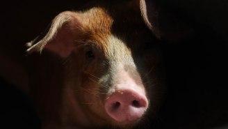 'Fallout 4' Is Real — 13,000 Radioactive Wild Boars Are Roaming Around Fukushima