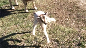 This One-Day-Old Goat Decides To Buck The System And Spend Its First Day Hopping Around The Farm