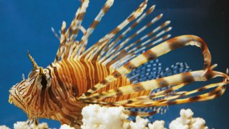 Get Ready Culinary Trendsetters, Lionfish Are Coming To Whole Foods!