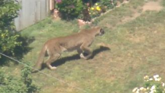 A Mountain Lion On The Loose Terrorized A High School In Granada Hills