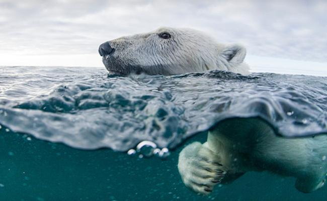 polar-bear-getty