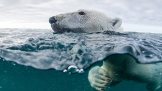 Polar Bears Are Having To Swim For Up To A Week Without Rest Due To Melting Ice