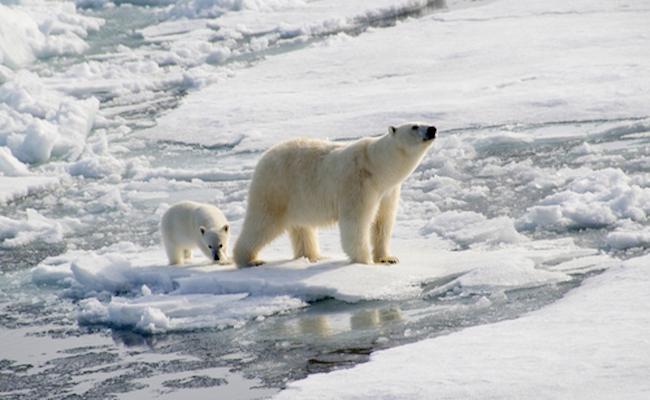 polar-bear-with-baby-ss