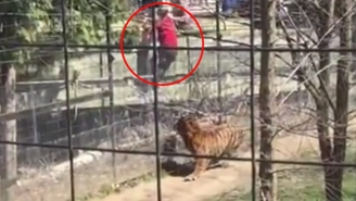 This Woman Makes A Poor Decision To Hop The Fence At The Tiger Pen For Her Hat