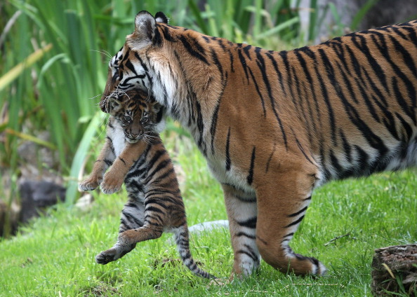 Two-Month Old Sumatran Tiger Cub Meets Public For First Time At SF Zoo