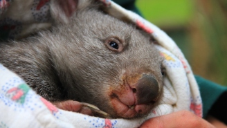 Need A New Job? How About 'Chief Wombat Cuddler,' Because That's A Real Thing