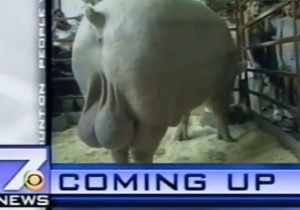 These News Anchors Can't Regain Their Composure After The Sight Of A Pig's Enormous Balls