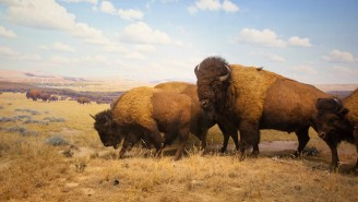 The American Bison Is Officially Our National Mammal