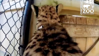 Pretend You're Riding On The Back Of A Cheetah With This GoPro Footage