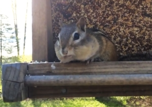 Watch This Chipmunk's Unexpected Reaction At Getting Caught Raiding The Bird Feeder