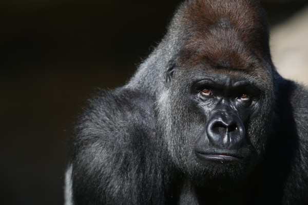 gorilla killed cincinatti