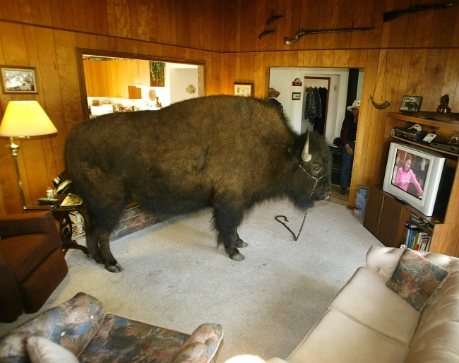 Bailey the Buffalo Spends Time in the House