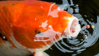 Australia Is Using Herpes To Fight Off A Fish Invasion