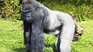 Gorilla Shot Dead After Child Falls Into Enclosure At Cincinnati Zoo