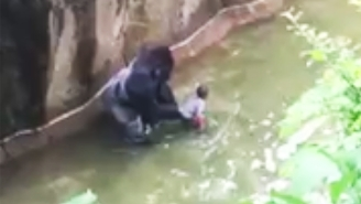 Here's Terrifying Video Of A Child Falling Into A Gorilla Enclosure At The Cincinnati Zoo